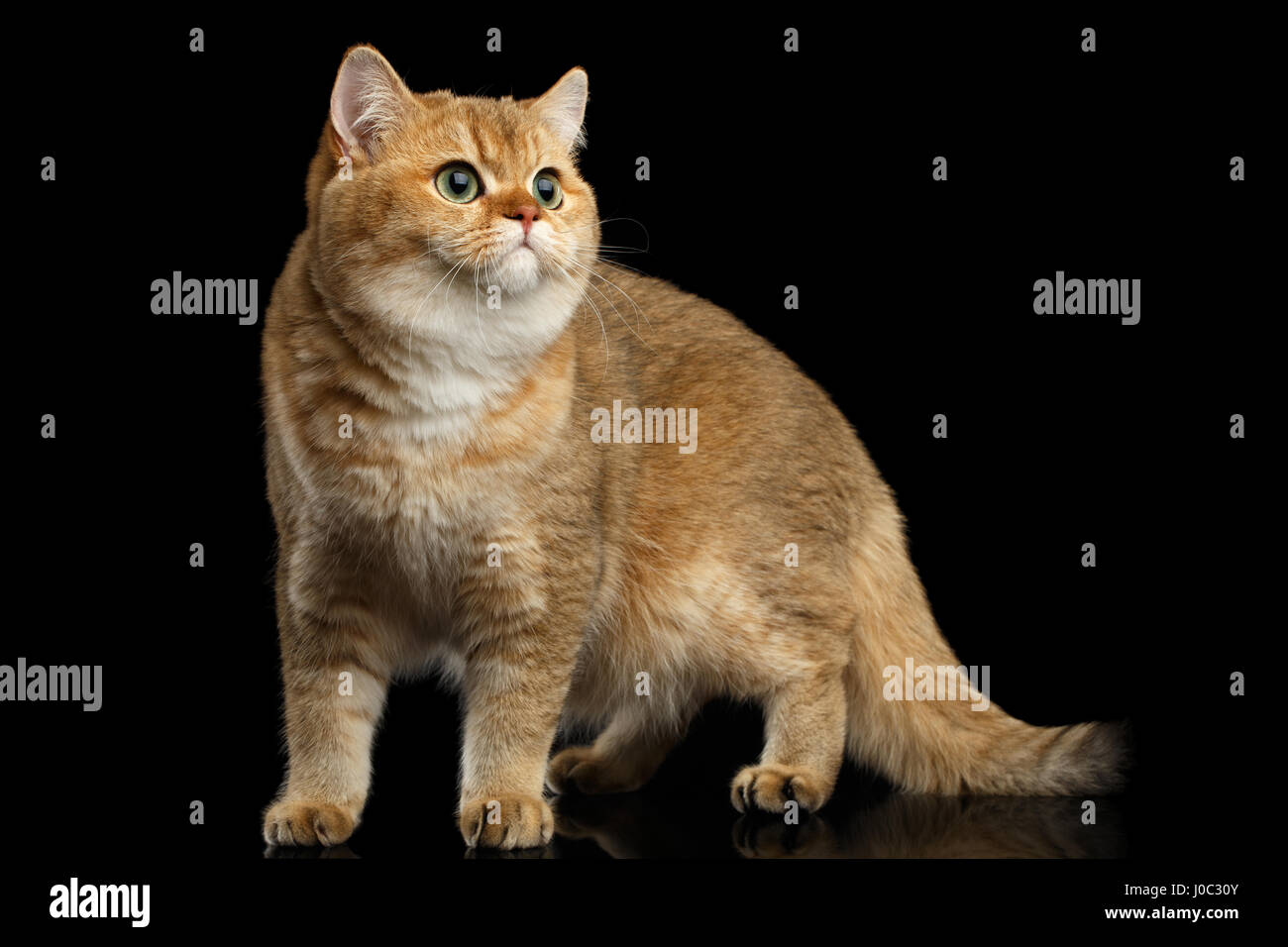 Golden Chinchilla cat: description of the breed, character, characteristics of care and maintenance 66