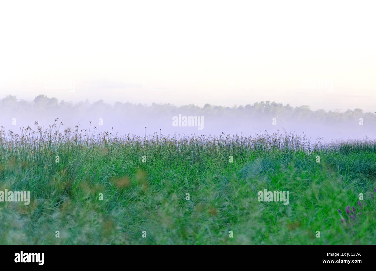 Morning mist over the lake sedge as a background - Stock Image