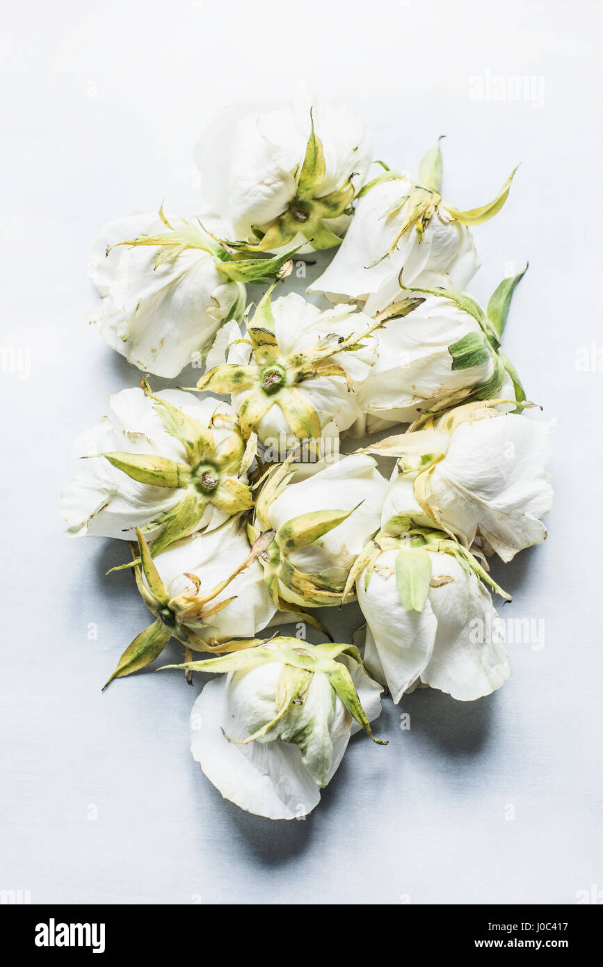 White rose heads, arranged upside-down, elevated view - Stock Image