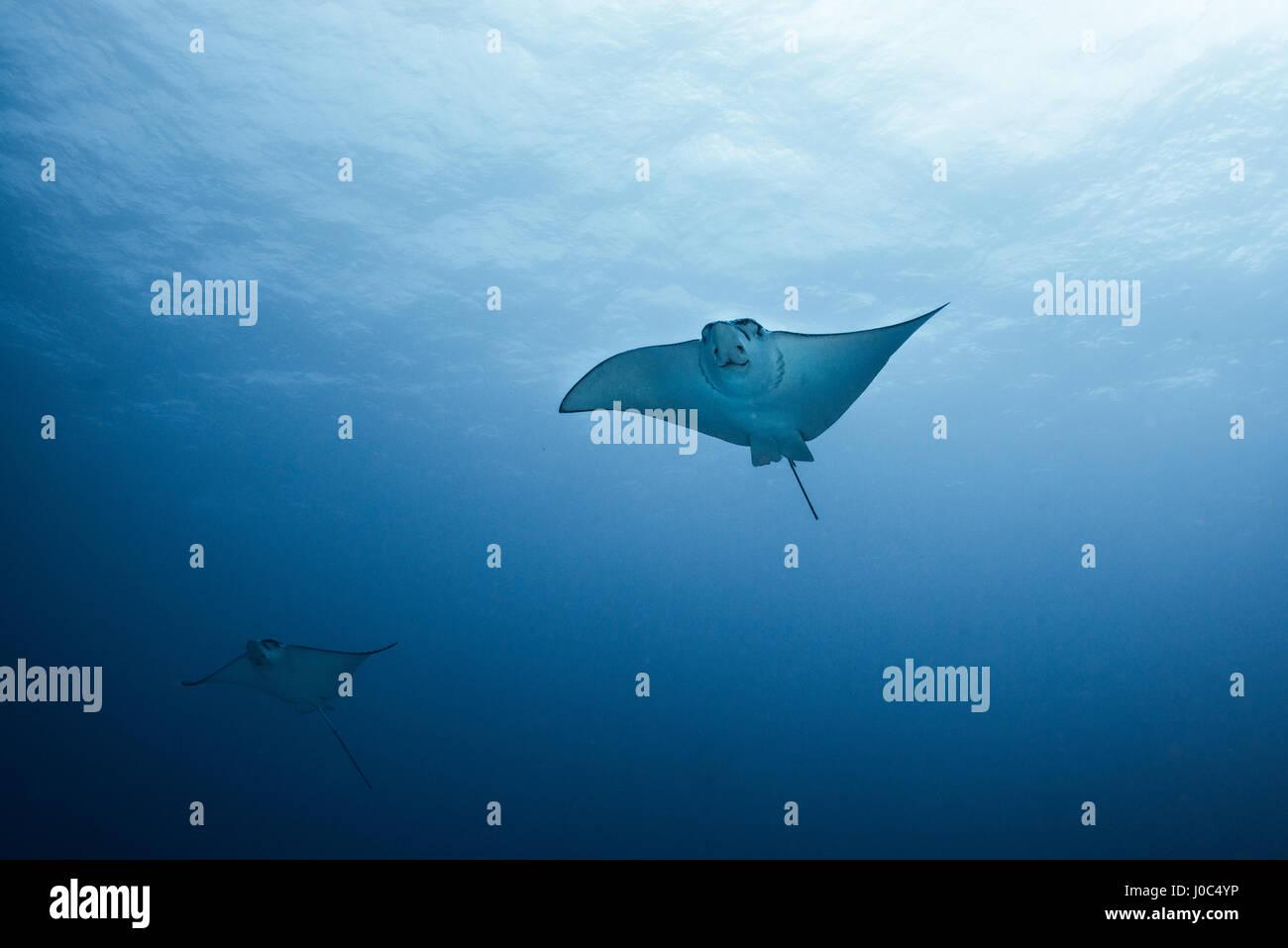 Pair of eagle rays (aetobatus narinari) swimming, underwater view,  Cancun, Mexico - Stock Image