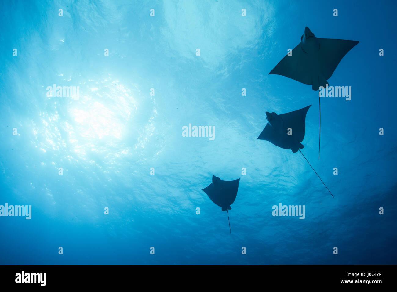 Eagle rays (aetobatus narinari) swimming, underwater view,  Cancun, Mexico - Stock Image