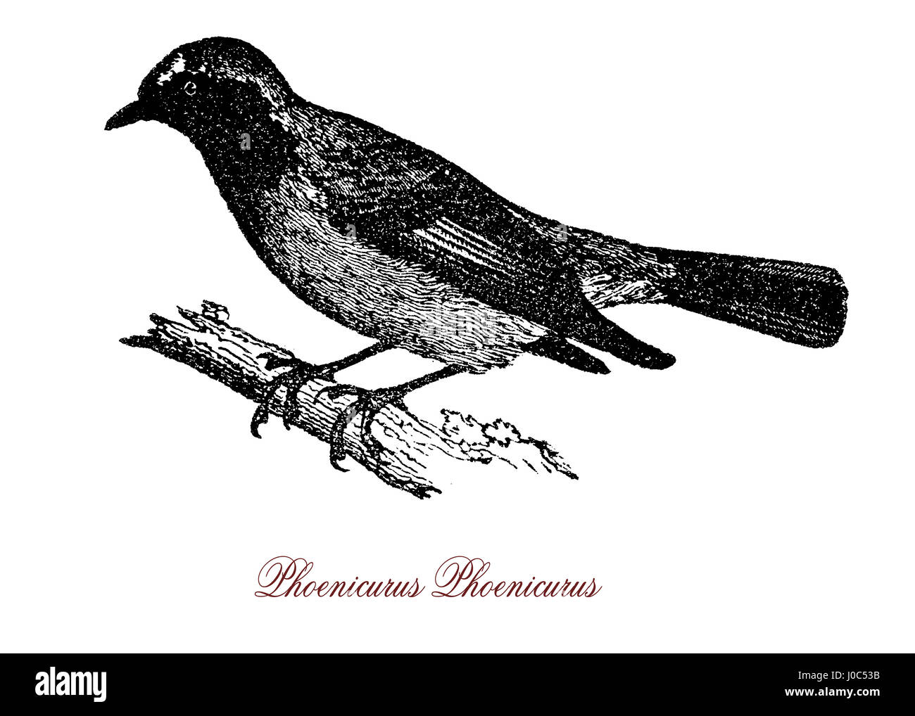 The common redstart (Phoenicurus phoenicurus) is a small passerine bird. The name phoenicurus is from Ancient Greek - Stock Image
