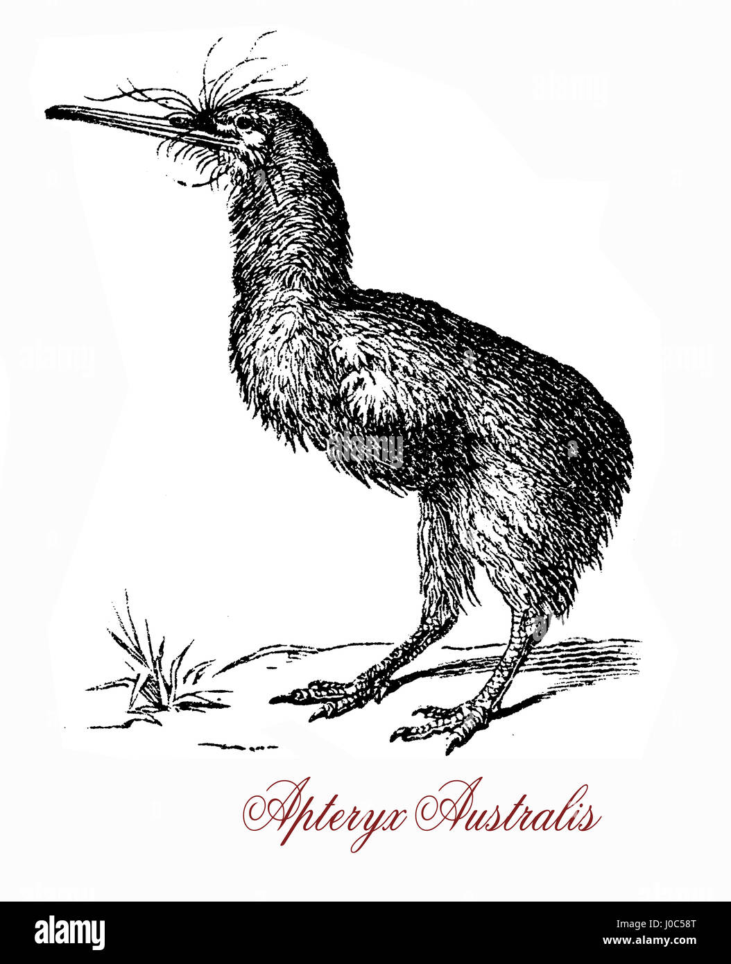 Brown Kiwi Apteryx Australis Stock Photos & Brown Kiwi Apteryx ...