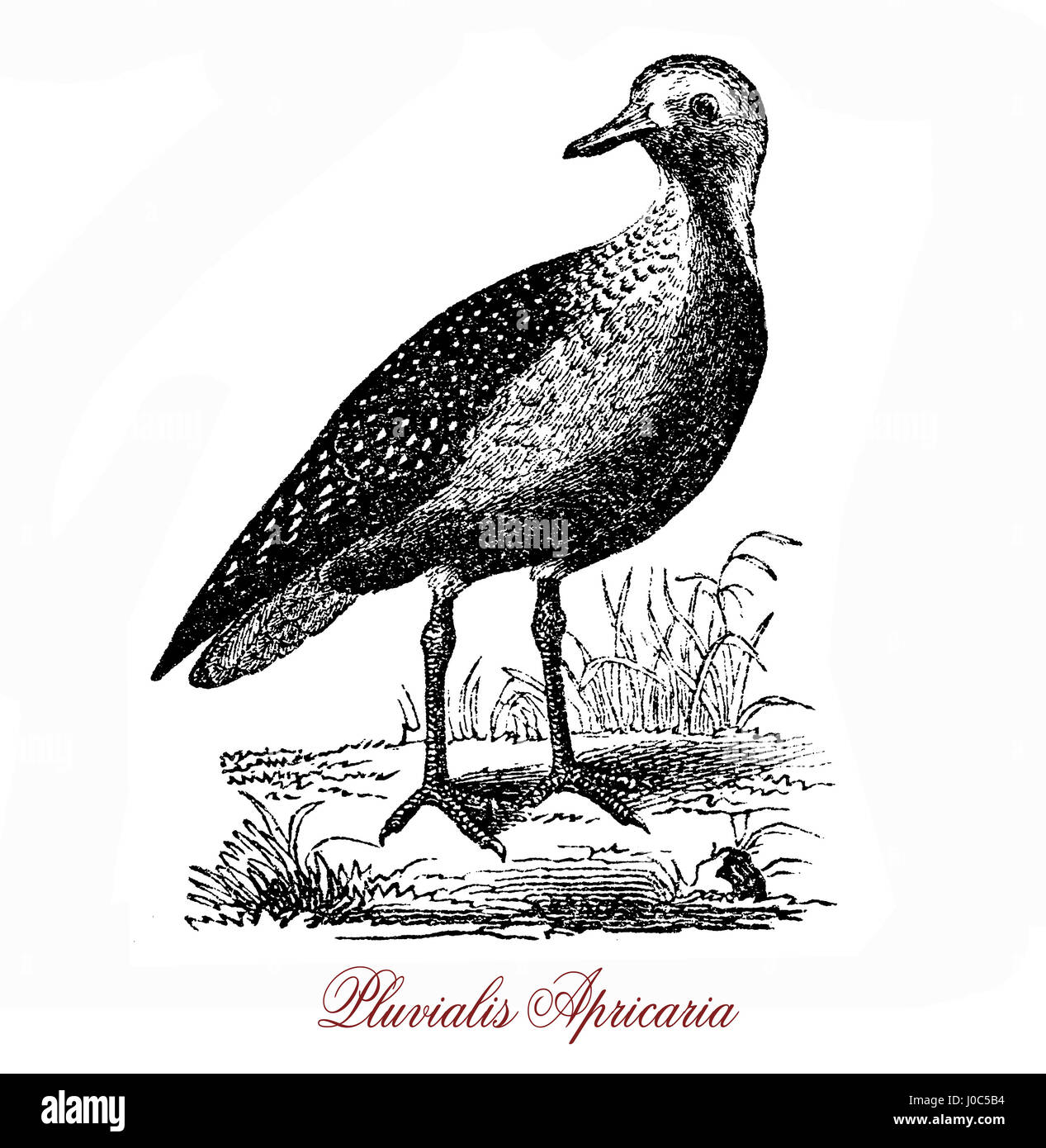 The European golden plover (Pluvialis apricaria) is a largish plover. The genus name is Latin and means relating - Stock Image
