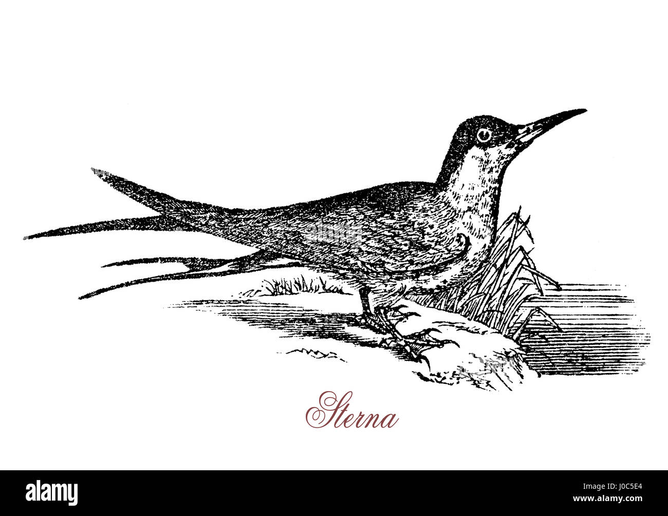 The common tern (Sterna hirundo) is a seabird of the tern family Sternidae with circumpolar distribution, migratory, - Stock Image
