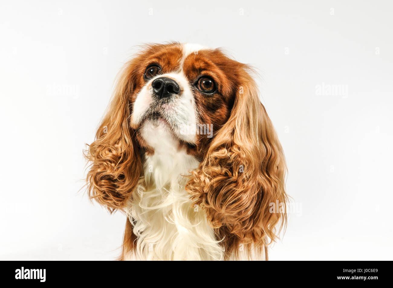 Dog in white background. - Stock Image