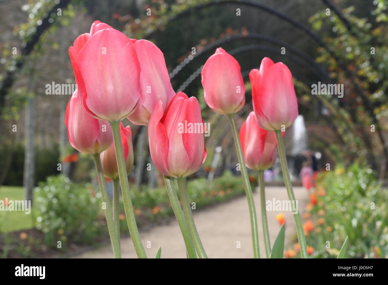 Pink tulips in Bangor Castle Walled Garden ,Bangor Co Down N Ireland - Stock Image