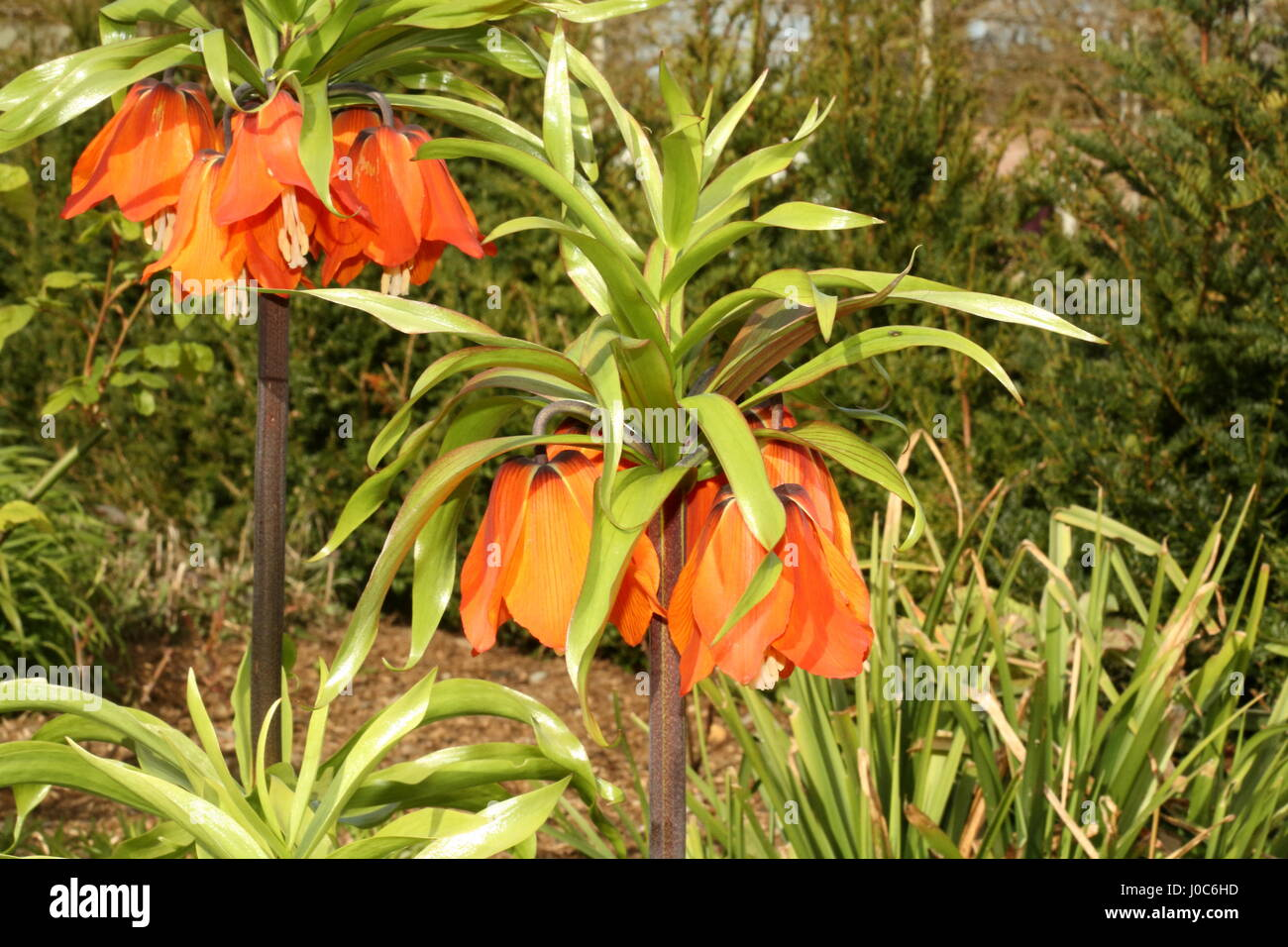 Crown Imperial Fritillaria imperialis or Kaisers Crown in bloom in a floral display in Bangor Castle Walled Garden - Stock Image