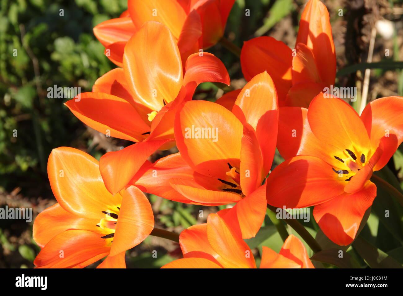 orange tulip - Stock Image