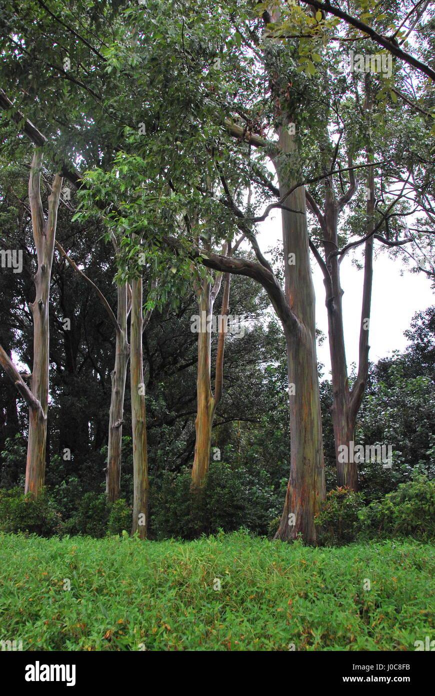 Rainbow Eucalyptus tree on Maui - Stock Image