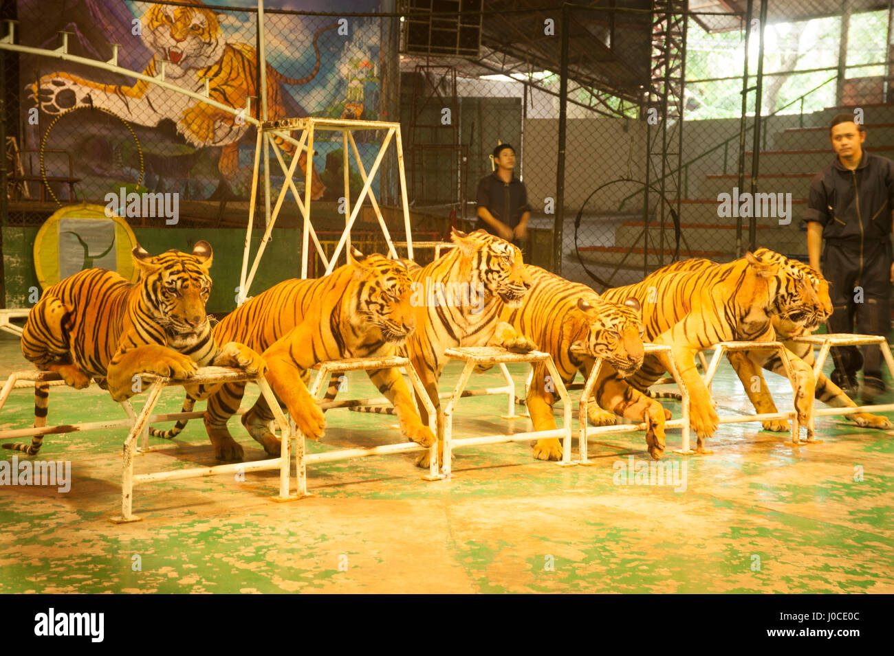 Tiger show sriracha tiger zoo bangkok thailand asia - Show me a picture of the tiger ...