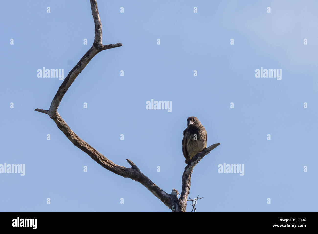 A Darwin finch perched in a tree on Isabela Island, Galapagos Islans, Ecuador. - Stock Image