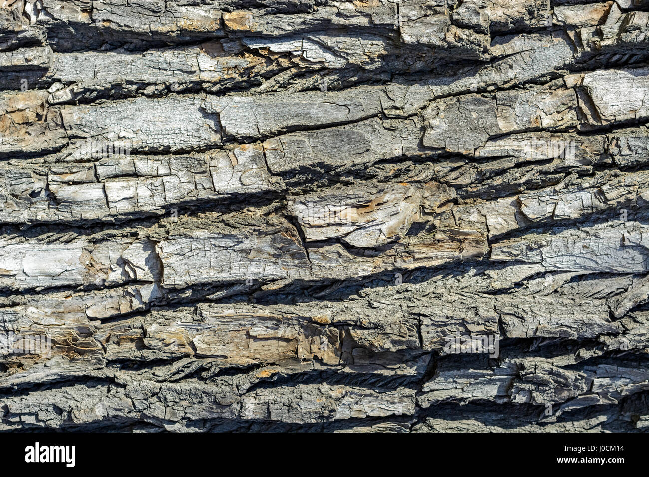The surface of the tree bark of poplar for use as a background. - Stock Image