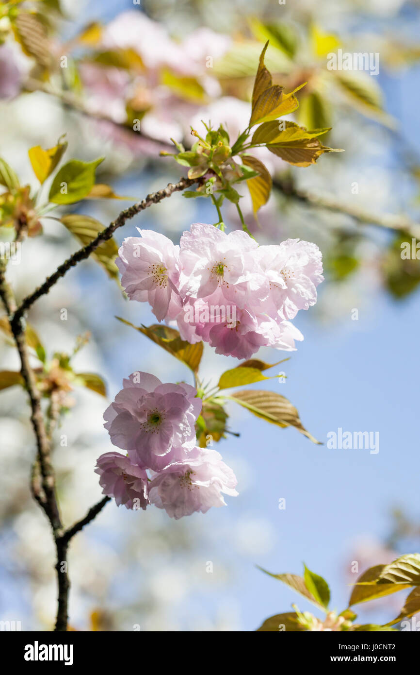 Prunus Hokusai, Japanese flowering cherry tree blossom, UK, close up - Stock Image
