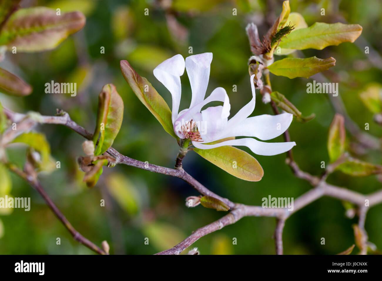 Close up of Magnolia X Loebneri flowering in an English garden Stock Photo