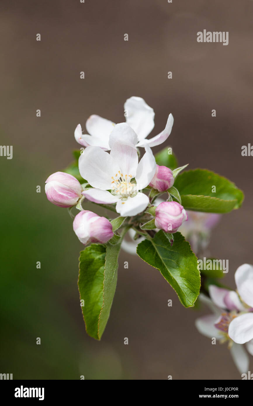Malus domestica close up, Brownlees Russet apple tree blossom, spring, England - Stock Image