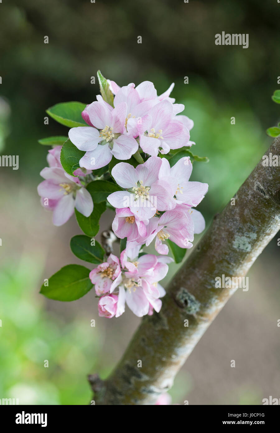 Close up of Malus domestica, Brownlees Russet apple tree blossom, spring, England - Stock Image