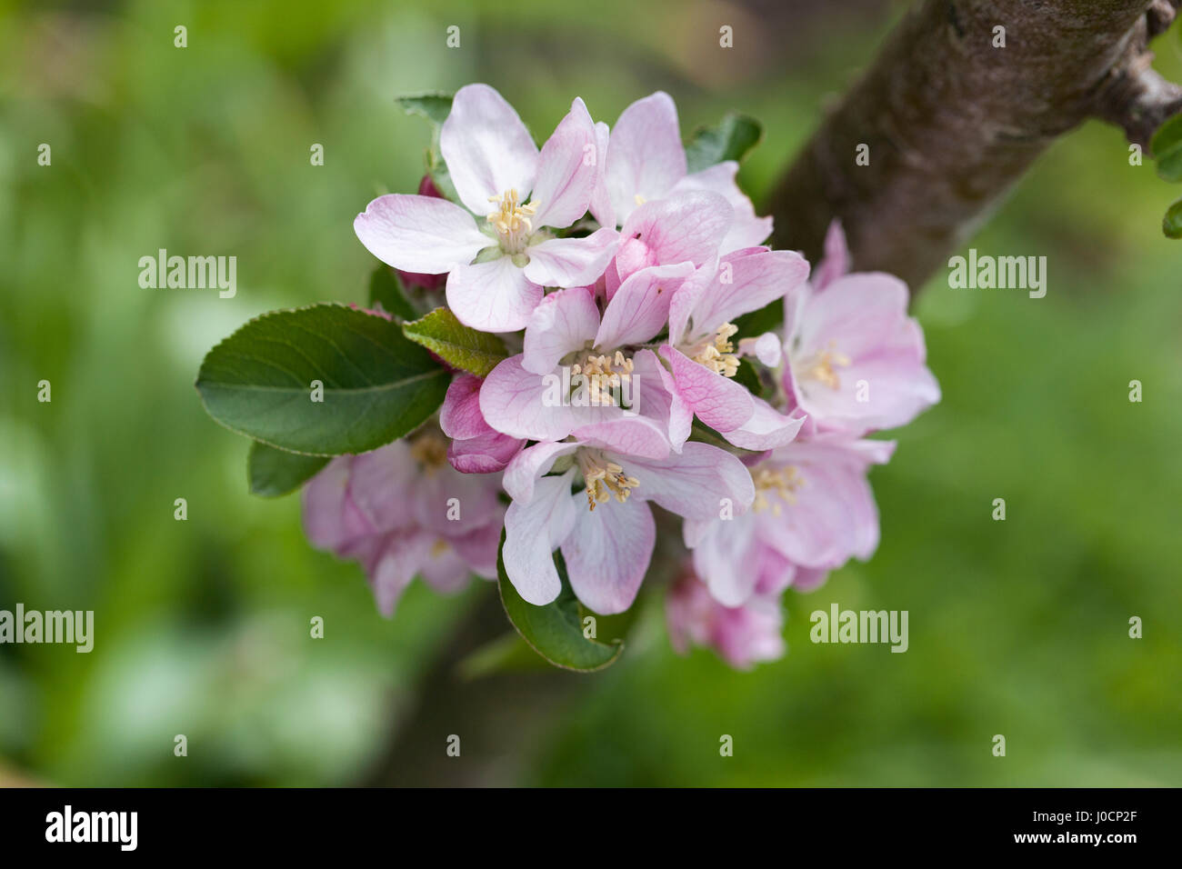 Close up of Malus domestica, Brownlees Russet apple tree blossom in spring, England - Stock Image