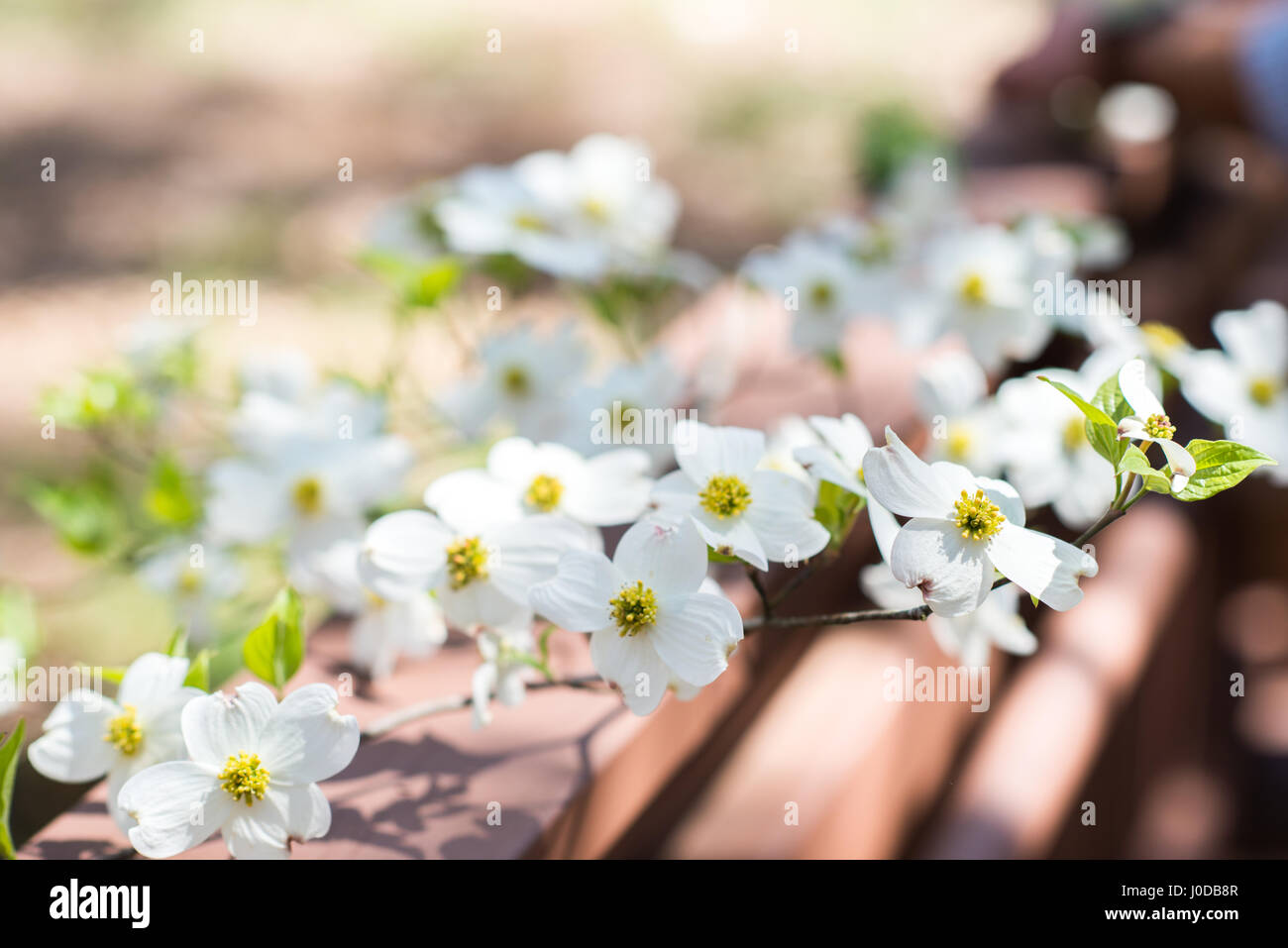 Close up of Dogwood branch in full bloom during springtime in North Carolina. Stock Photo