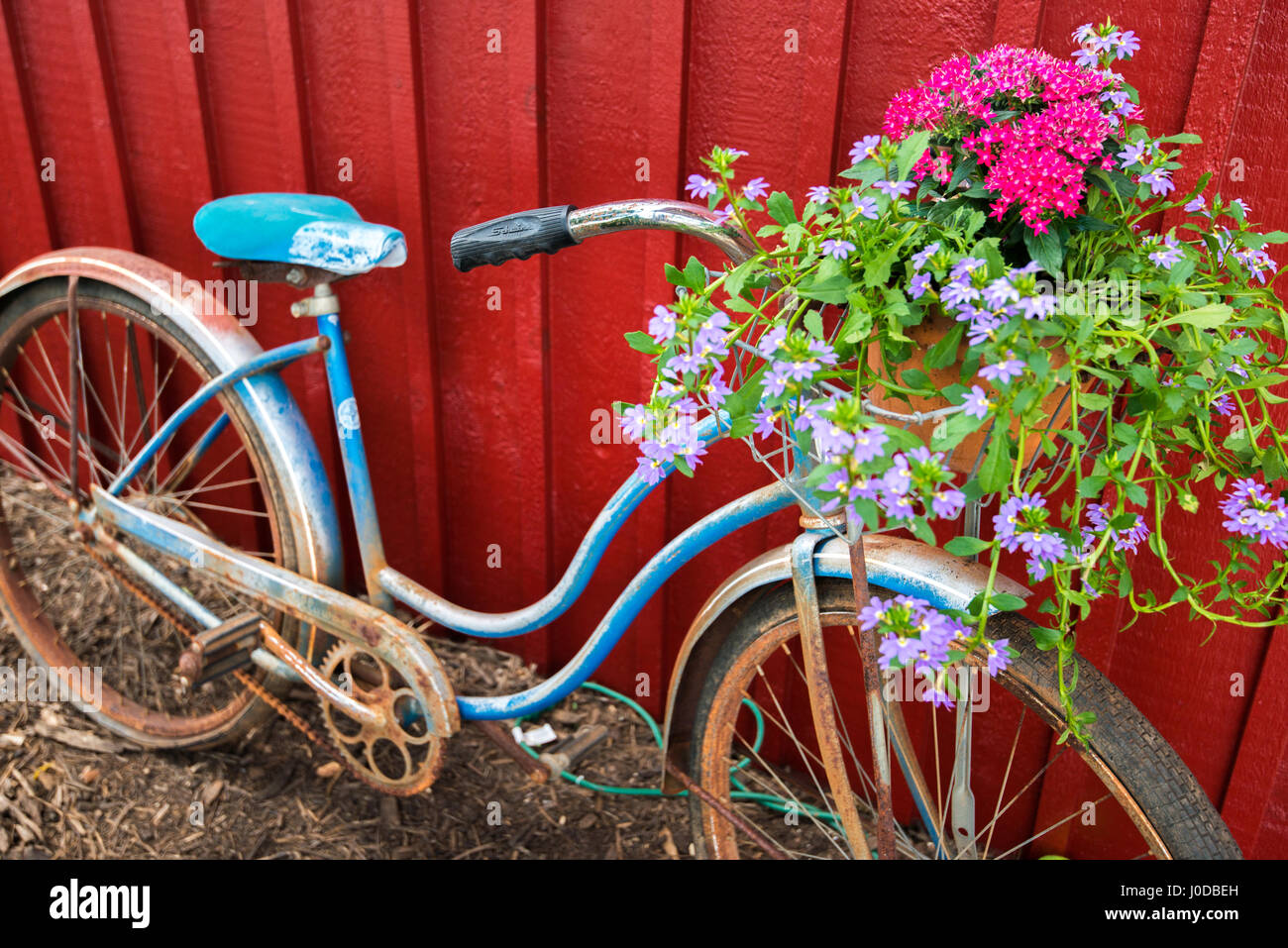 Flowers in a basket on an old vintage blue bicycle against red barn backdrop. Stock Photo