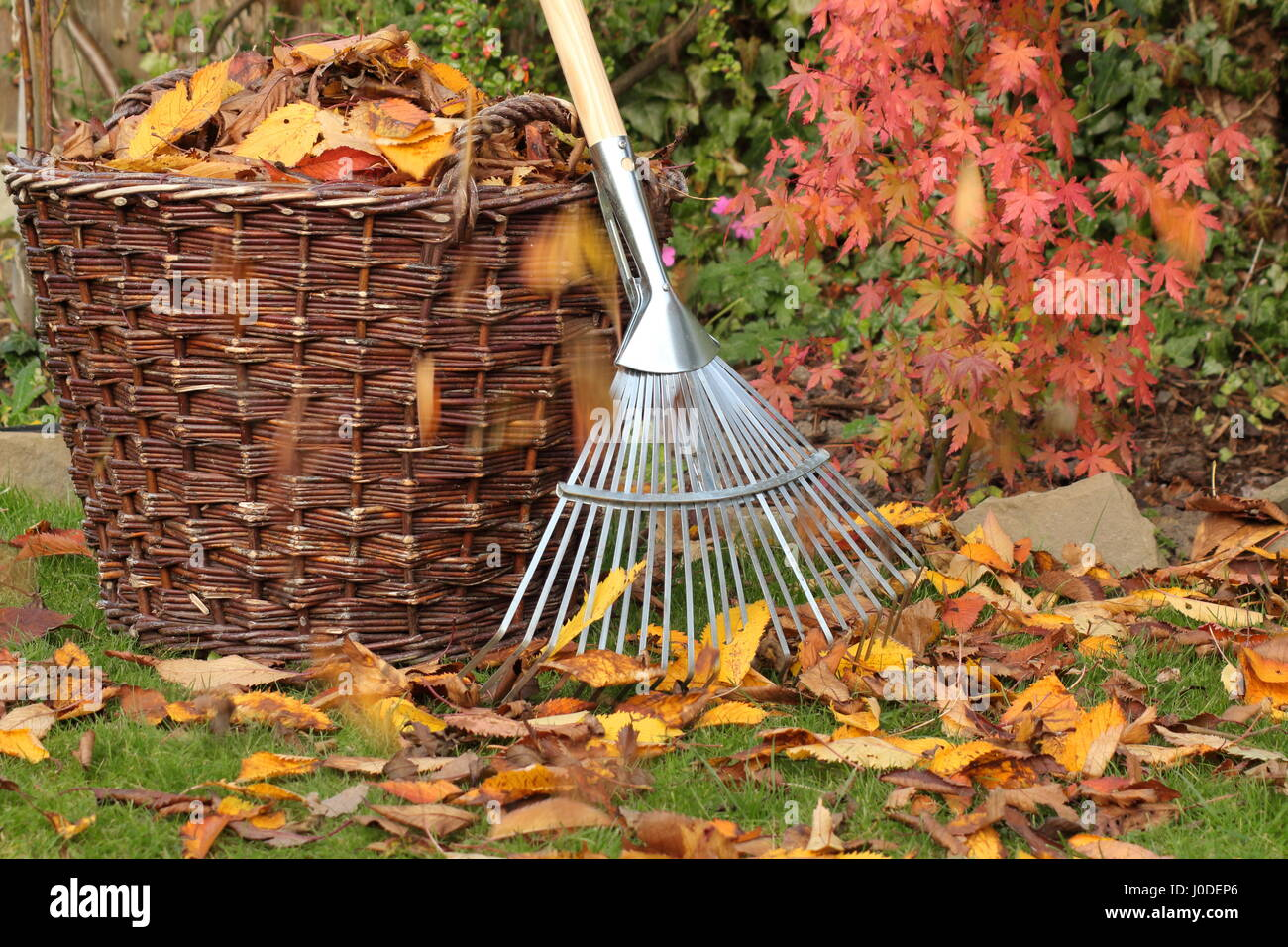 Fallen leaves cleared from a garden lawn into a woven basket on a bright autumn day, UK - Stock Image