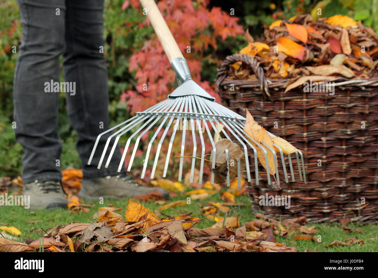 A female gardener rakes up fallen cherry tree leaves (prunus) into a woven basket from a garden lawn as part of - Stock Image