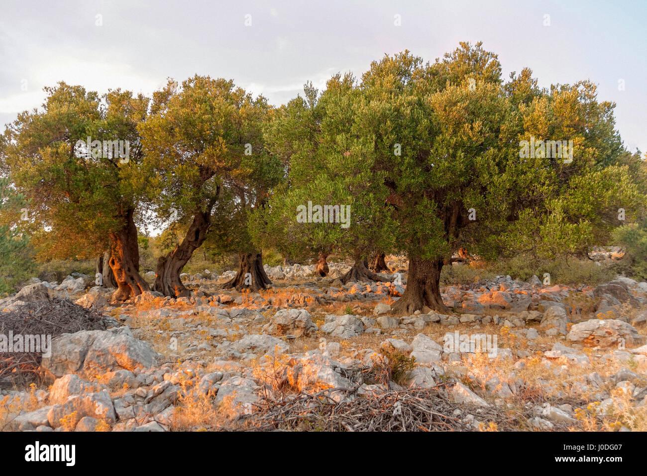 Olive Trees Croatia Stock Photos & Olive Trees Croatia Stock Images ...