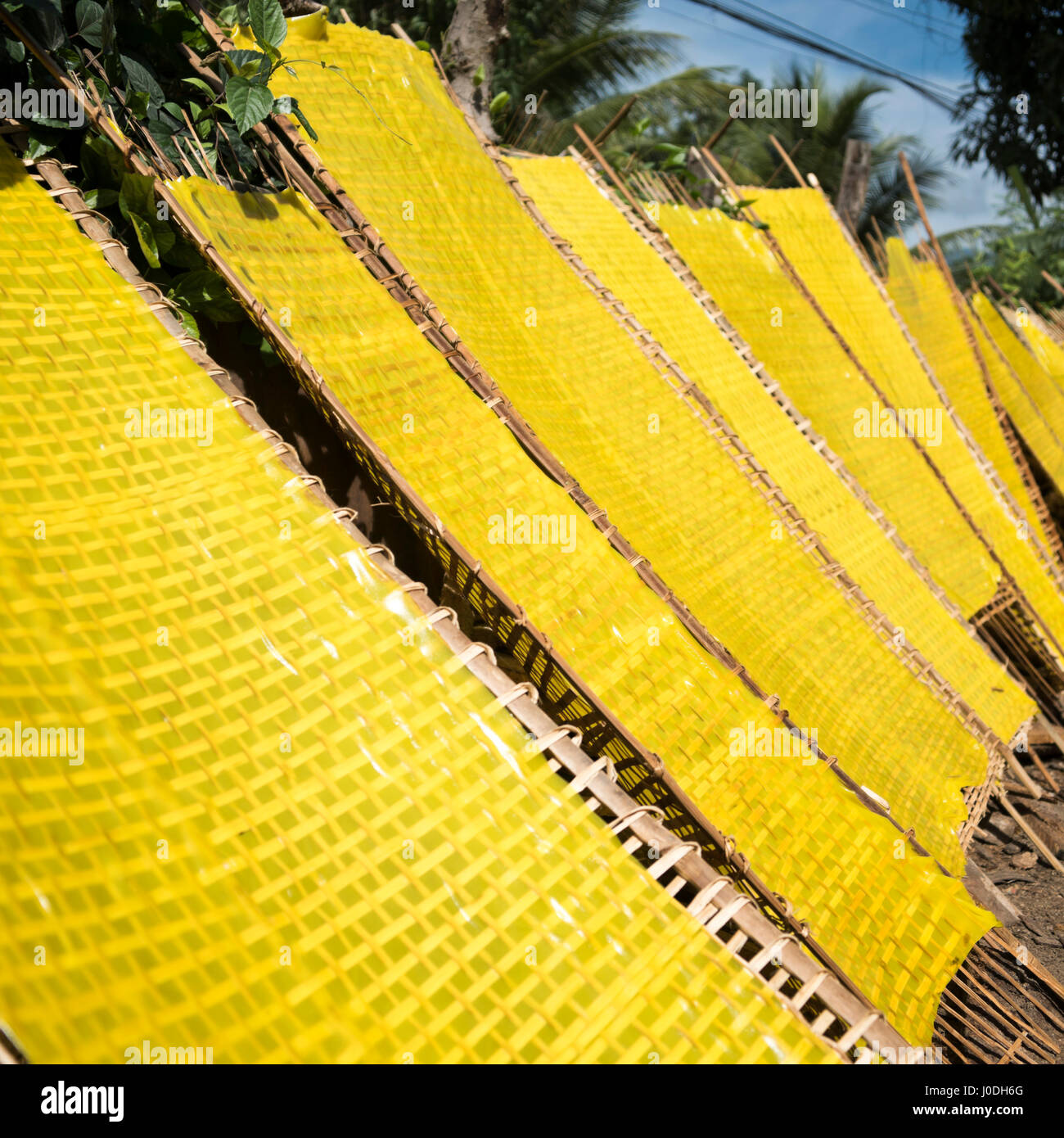 Square view of traditional yellow rice noodles in sheet form drying out in the sunshine in Vietnam. - Stock Image