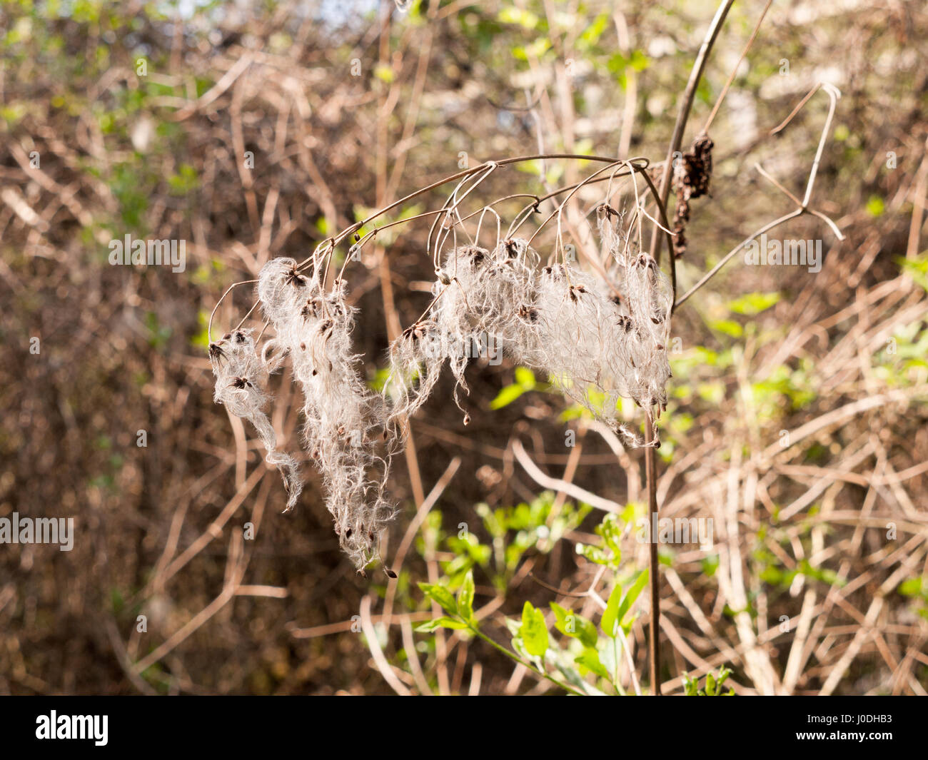 A Spindly Dead Plant With Hanging White Curtains Stock Photo