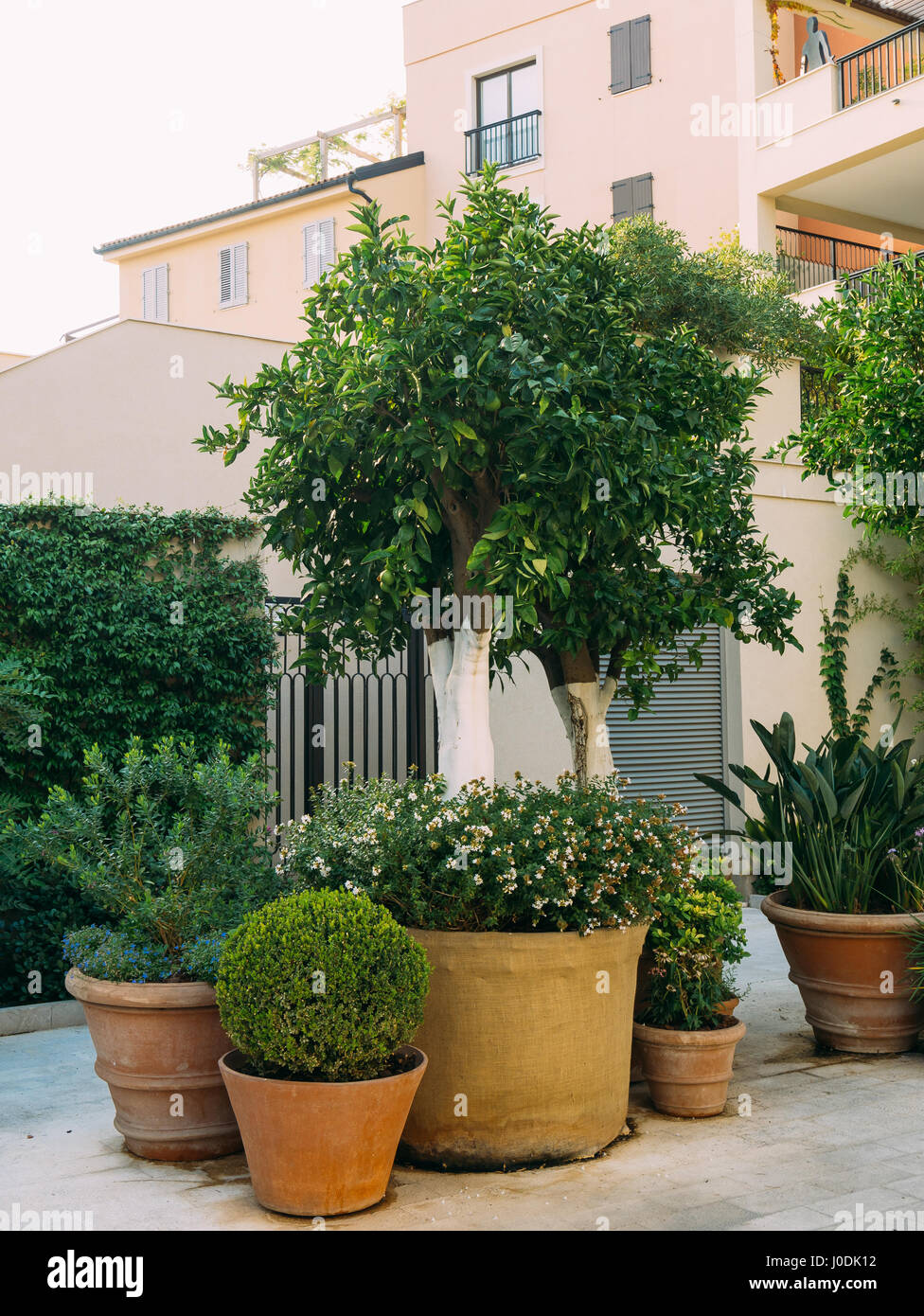 A Tree In A Pot. Small Trees In Clay Pots