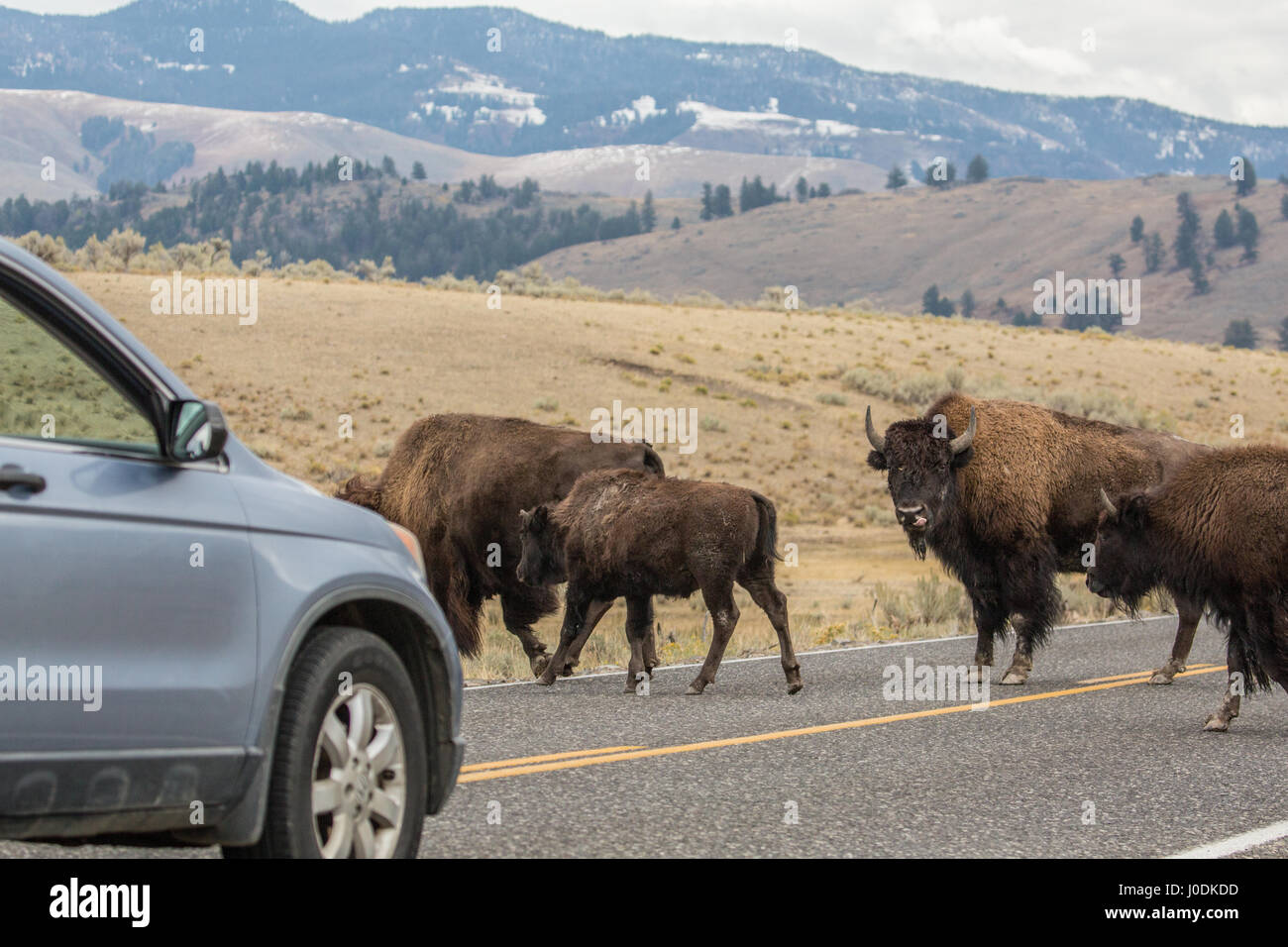 Large male American Bison blocking cars from moving on the highway, so the herd can cross the highway safely, in Stock Photo
