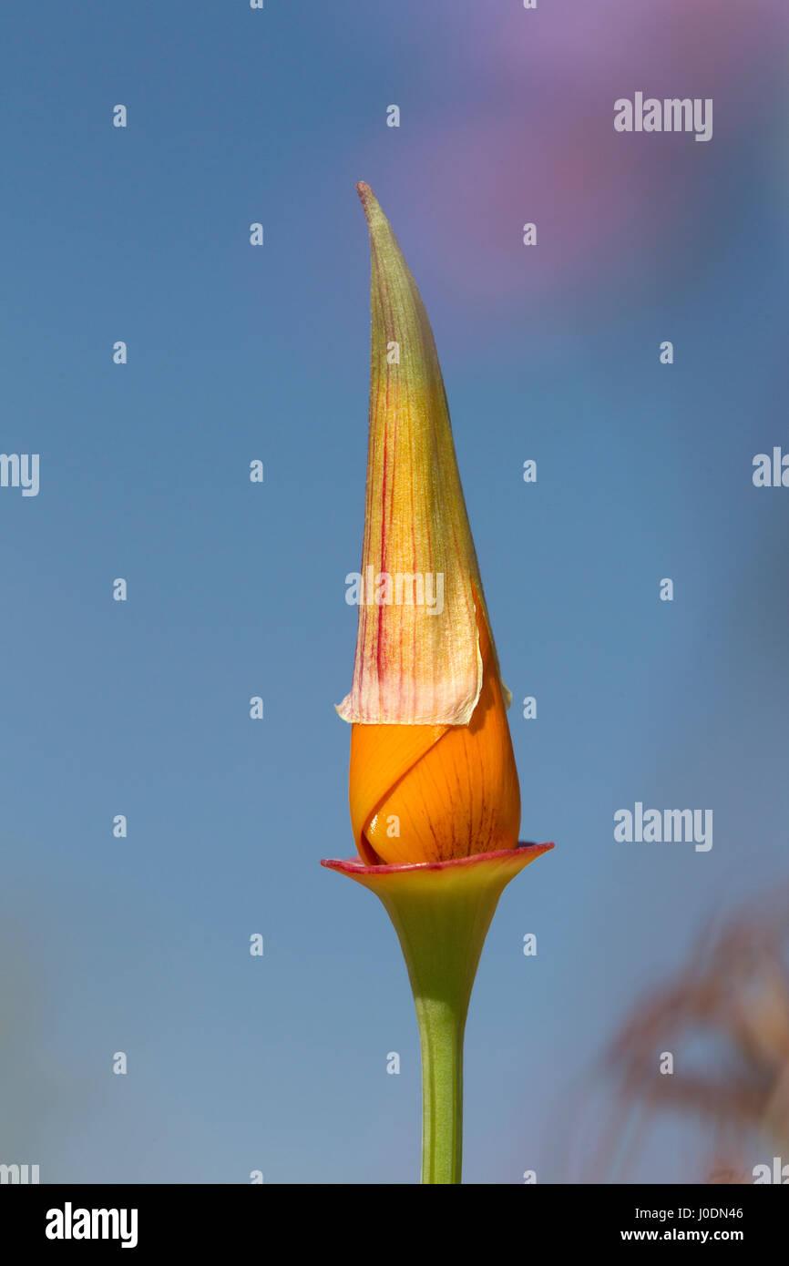 California Poppy Bud Unopened - Stock Image