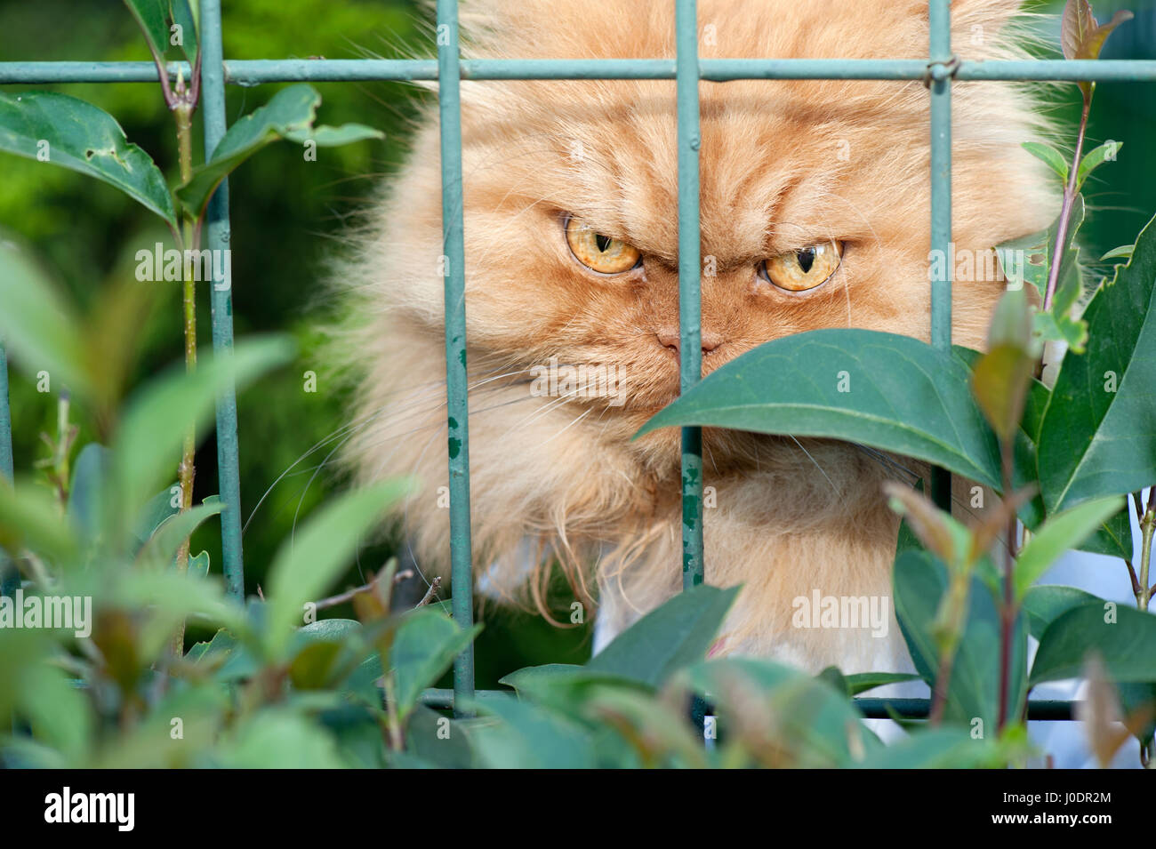Close-Up Of Persian Cat Behind Fence - Stock Image