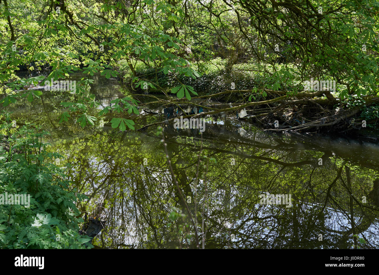 A fallen tree in the river Brent collecting rubbish - Stock Image