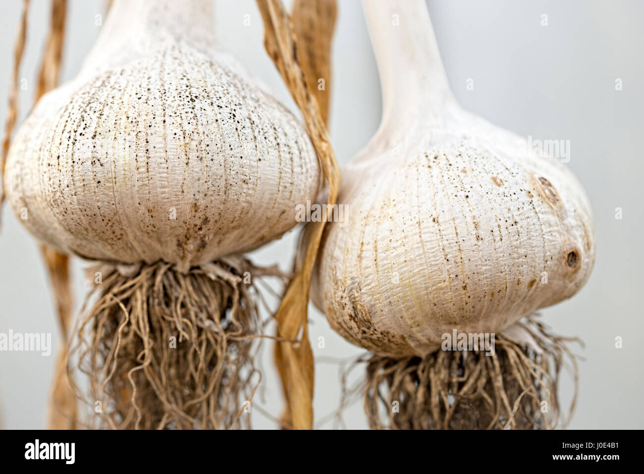 Elephant garlic - Stock Image