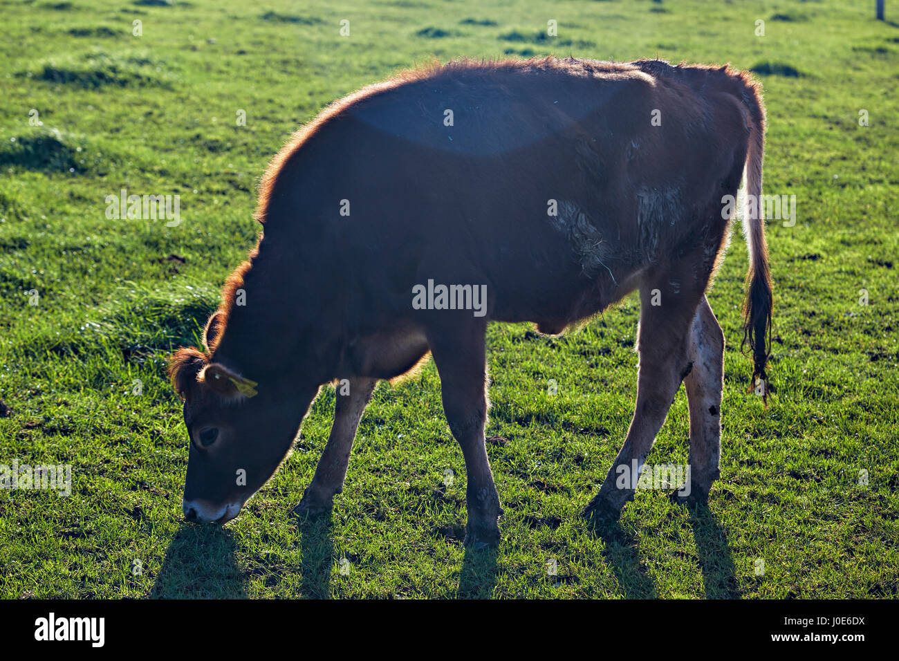 Cow grazing on the animal farm - Stock Image