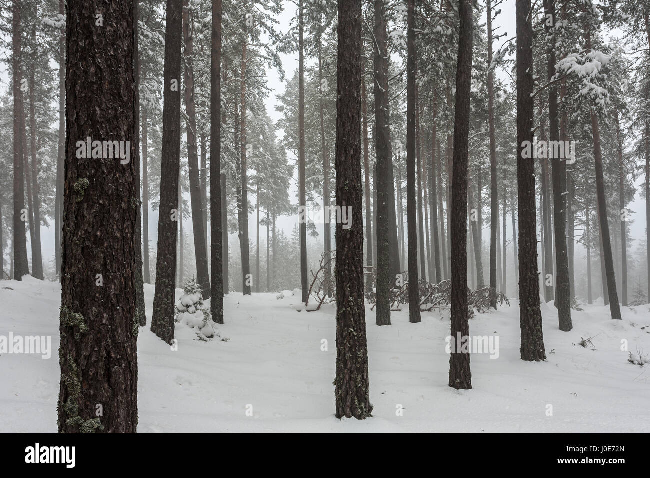 Misty pine forest covered with snow - Stock Image