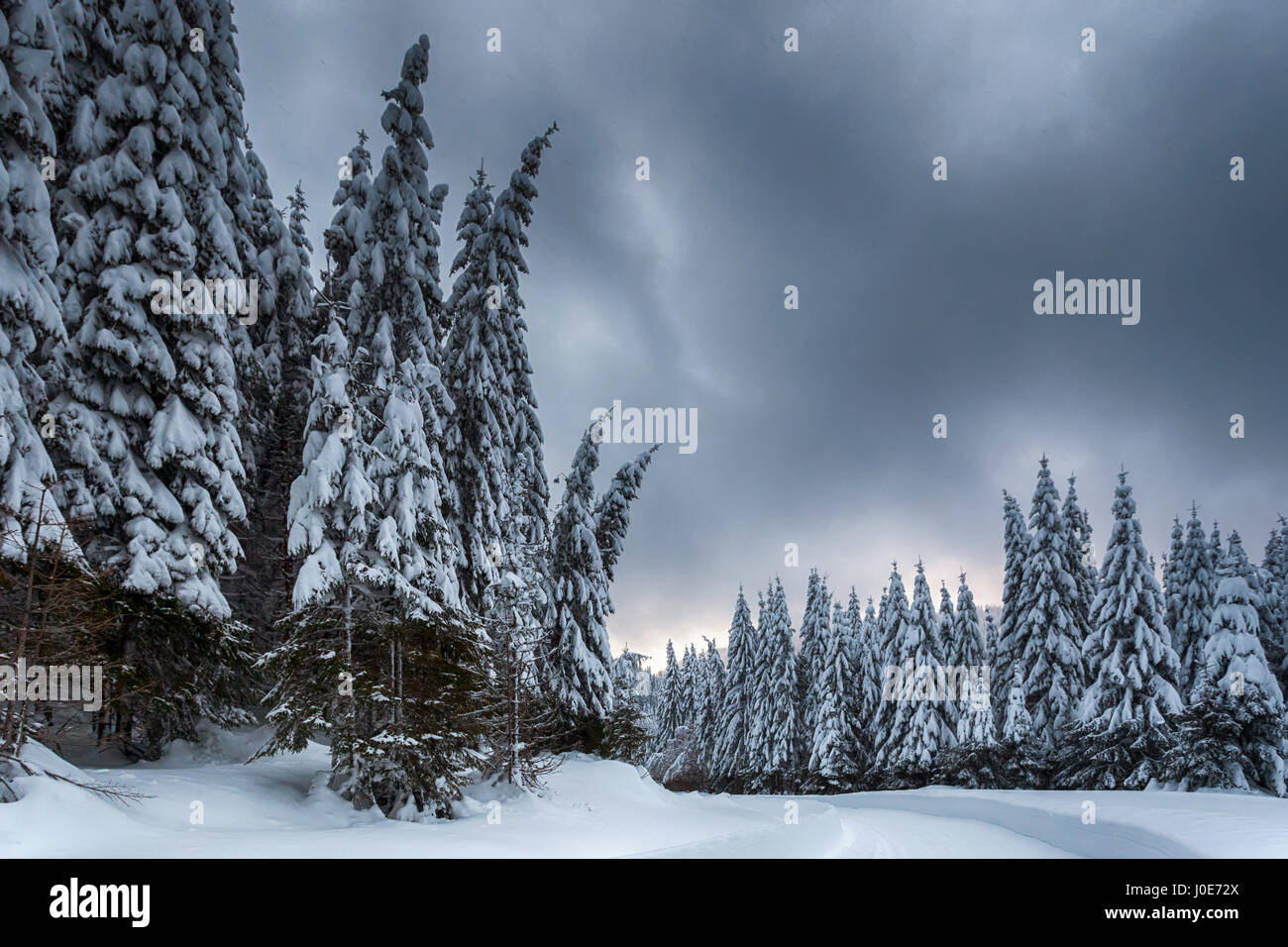 Pine forest covered in snow at dusk - Stock Image