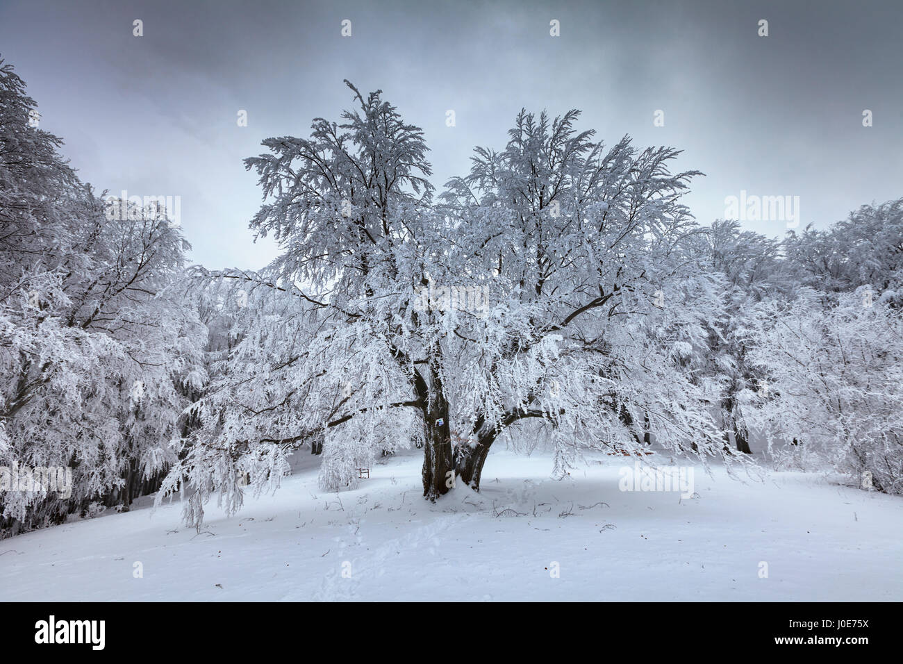 A deciduous tree covered in heavy snow - Stock Image