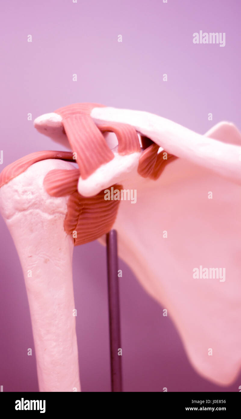 Shoulder blade and back medical study student anatomy model showing ...