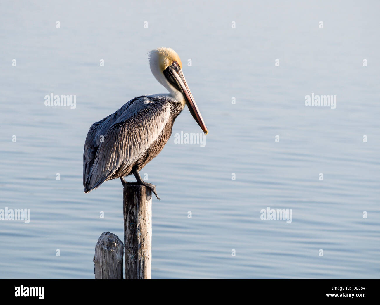 Brown Pelican on a Post. A large brown pelican suns itself in the early morning sunshine on a dock post in the harbor - Stock Image