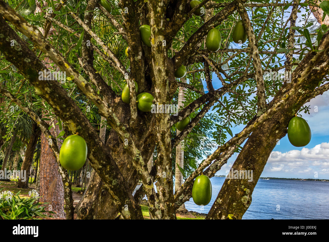 A Calabash Tree and its fruit growing in south Florida. - Stock Image