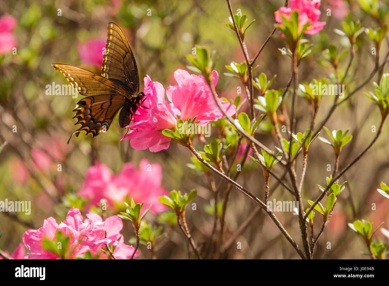 Butterfly on pink azaleas at Honor Heights Park Azalea Festival in Muskogee, Oklahoma. (USA) Stock Photo