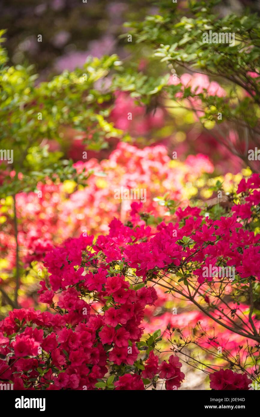 Beautiful azaleas in colorful blossom during the Azalea Festival in Muskogee, Oklahoma.  (USA) Stock Photo
