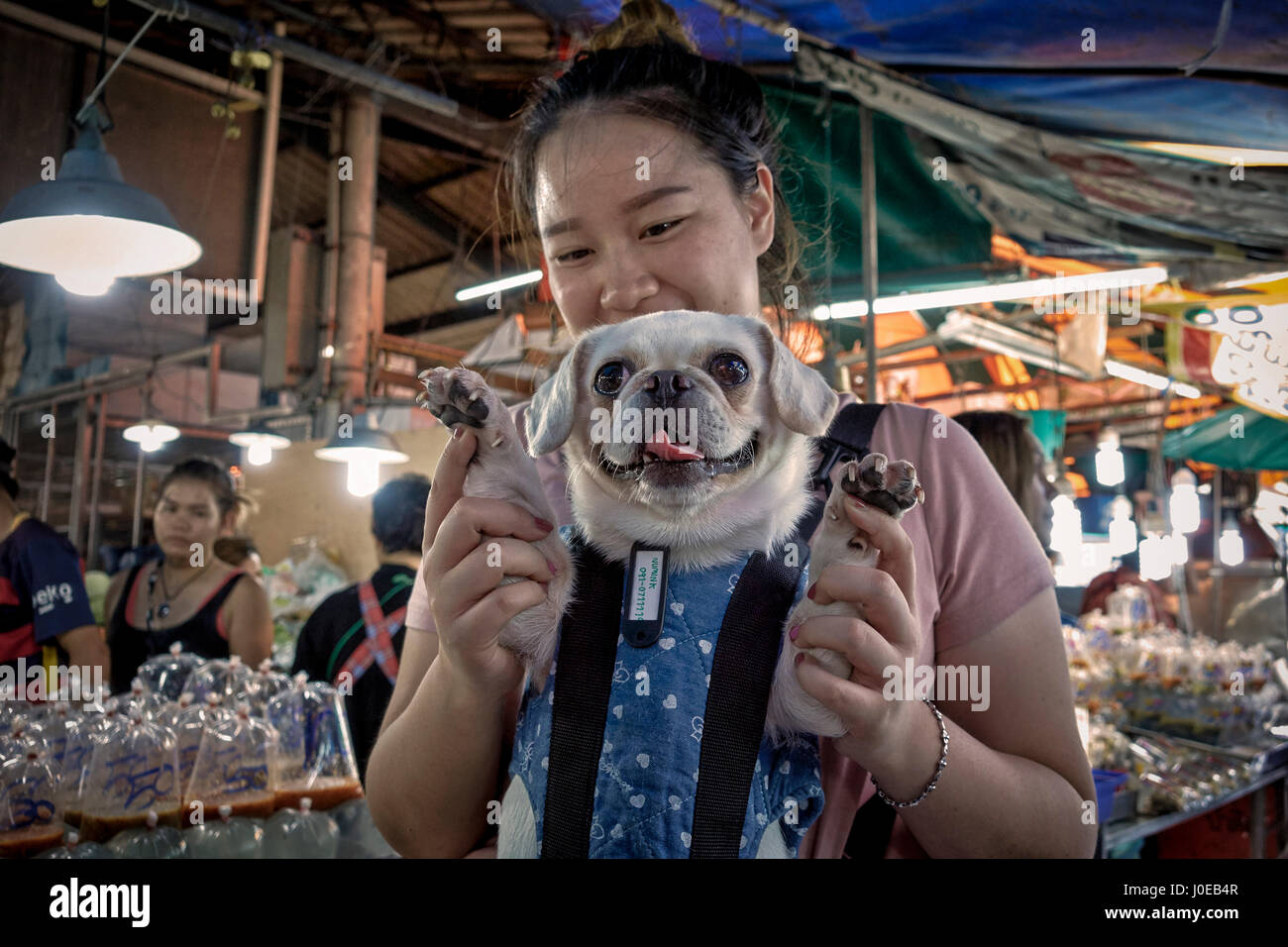 Woman carrying her pampered pet Pug dog in a harness. Thailand Southeast Asia - Stock Image