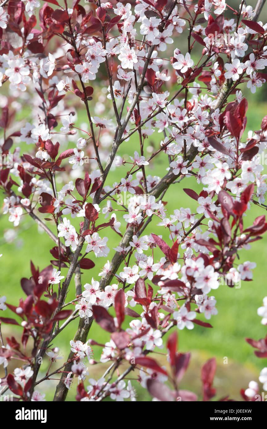 Prunus X Cistena Purple Leaf Sand Cherry Tree Blossom Stock Photo