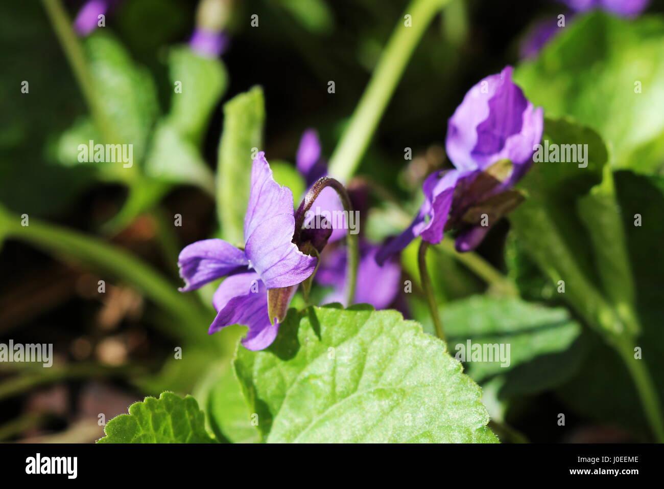 Viola odorata - wild violet - Stock Image