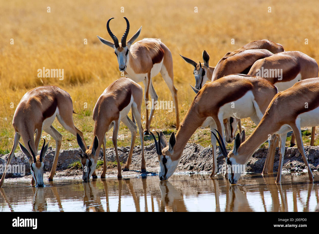 Springbok at Central Kalahari Game Reserve, Botswana - Stock Image