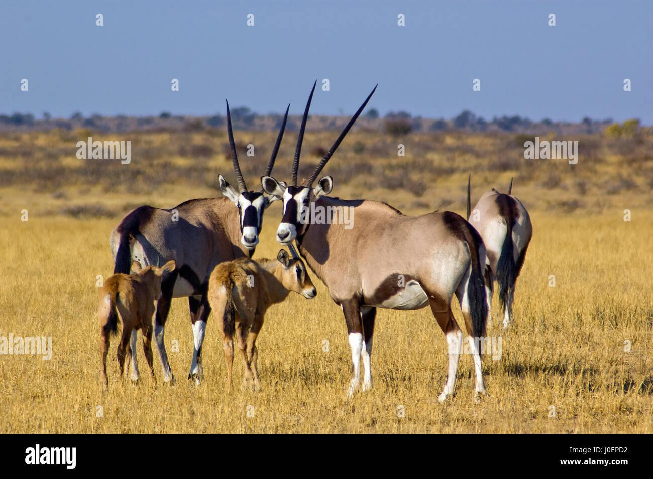 Gemsboks with babies on the open plains at Central Kalahari Game Reserve, Botswana - Stock Image