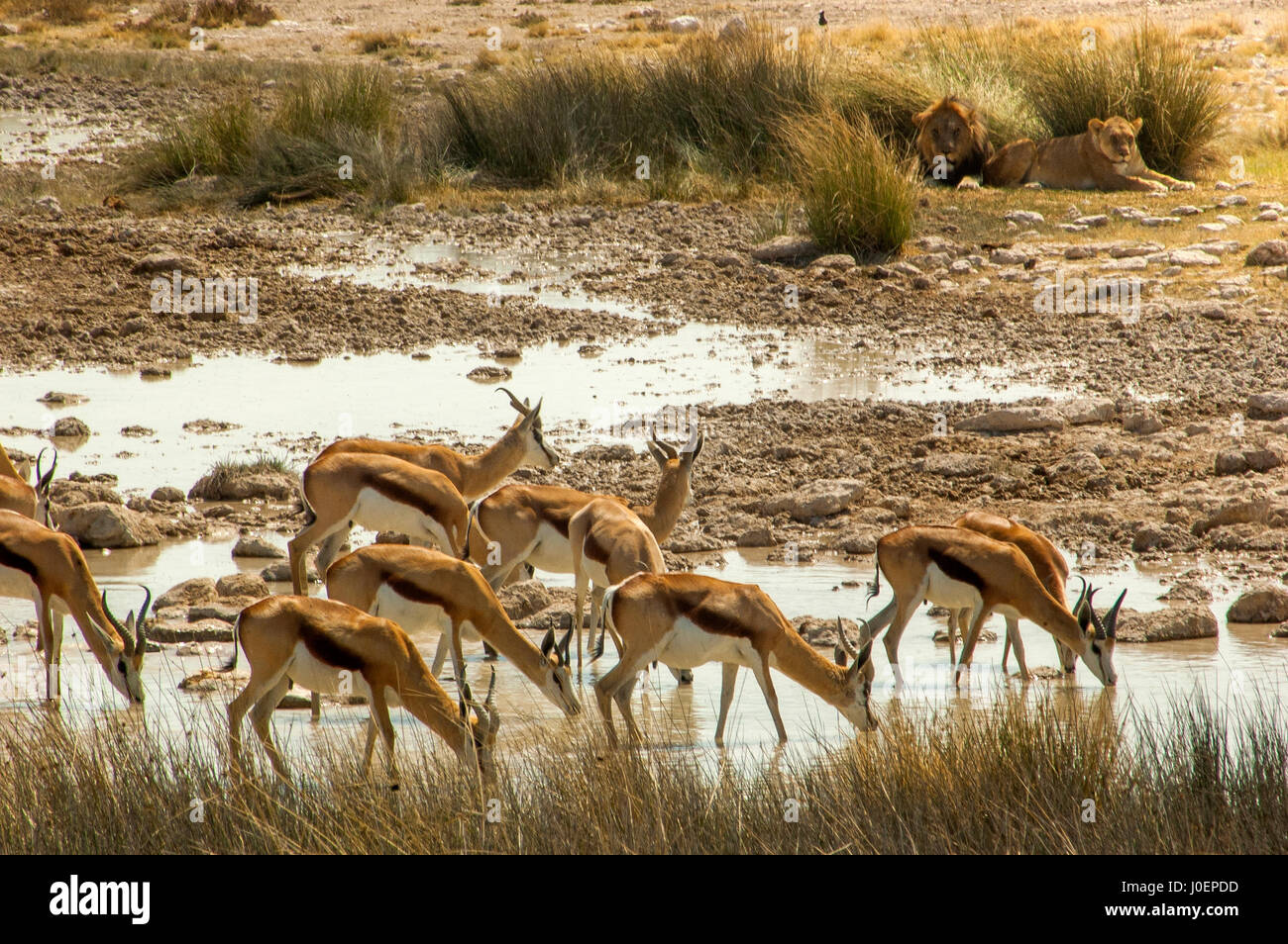 Springbok herd drinking at Salvadora waterhole, with a couple of lions lying near a bush in the background, Etosha National Park, Namibia Stock Photo